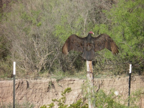 Another vulture, assuming the territorial stance of Beware.